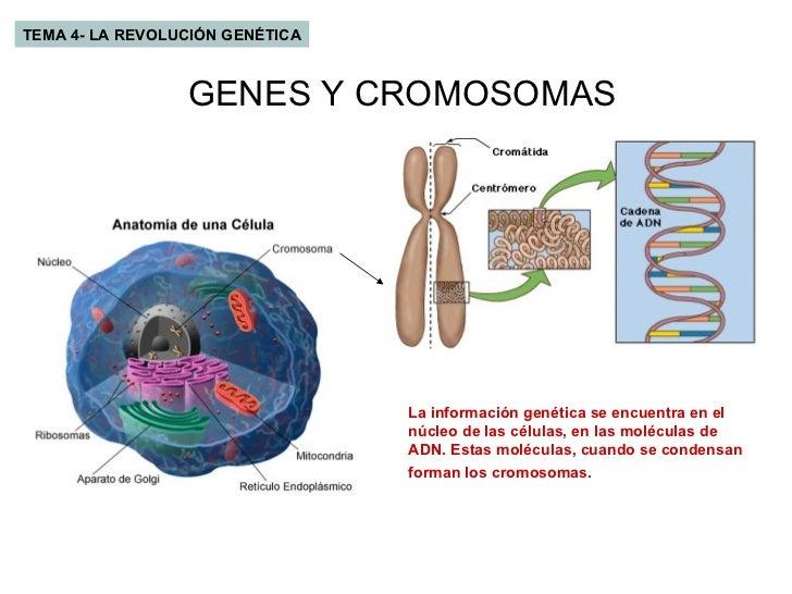 TEMA 4- LA REVOLUCIÓN GENÉTICA GENES Y CROMOSOMAS La información genética se encuentra en el núcleo de las células, en las...