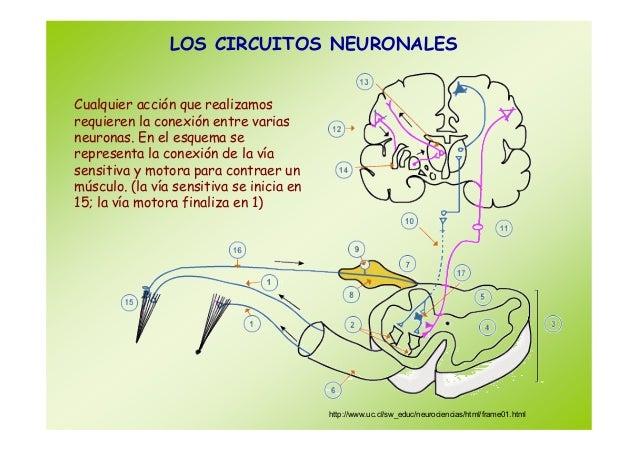Circuito Nervioso : Sistema nervioso