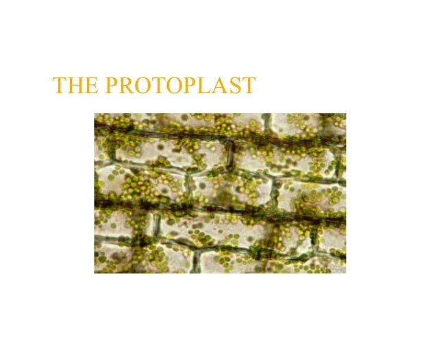 THE PROTOPLAST