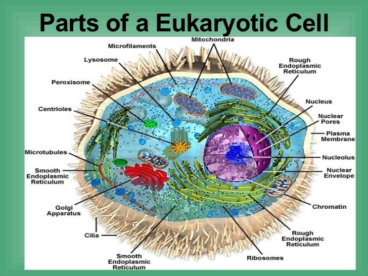 Diagrams Of Plant Cell  Animal Cell  Eukaryotic Cell  And