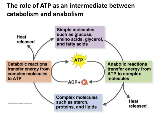 catabolic vs anabolic process