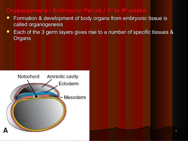 Organogenesis / Embryonic Period / 3 rd to 8 th weeks  Formation & development of body organs from embryonic tissue is ca...