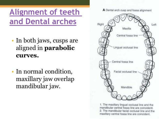 Tooth occlusal anatomy