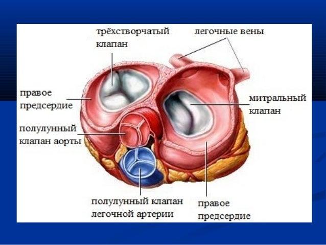 Схема иннервации сердца (по