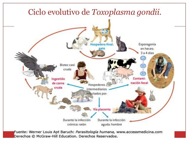 What Is Toxoplasmosis