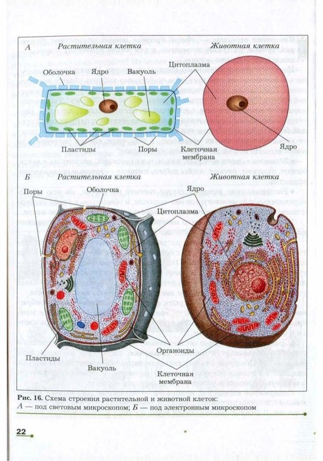 Схема строения растительной и