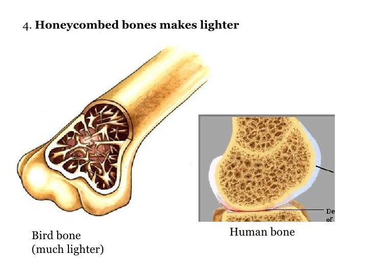 the pictures for --> bird bones vs human bones, Skeleton