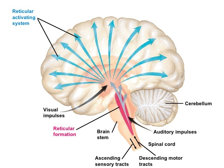 Brain Diagram Reticular Activating System Brain Diagram Affected By