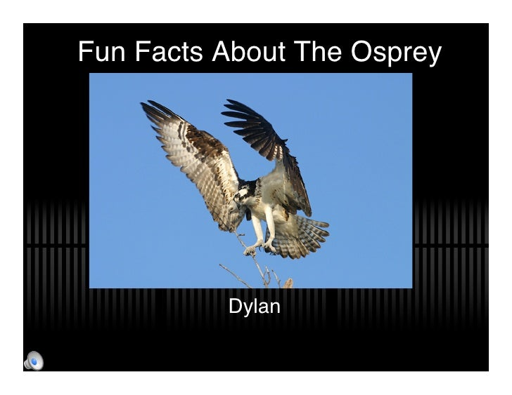 Fun Facts About The Osprey               Dylan