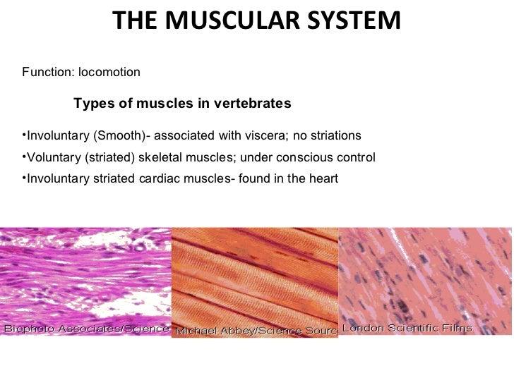 THE MUSCULAR SYSTEM <ul><li>Function: locomotion </li></ul><ul><li> </li></ul><ul><li>Types of muscles in vertebrates </l...