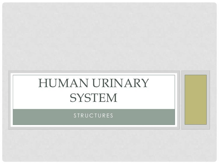HUMAN URINARY   SYSTEM    STRUCTURES