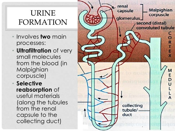 steps in urine formation