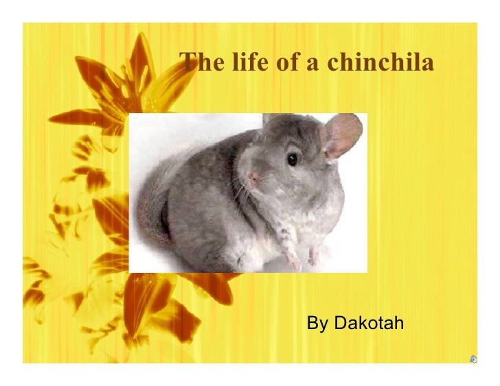 The life of a chinchila                By Dakotah