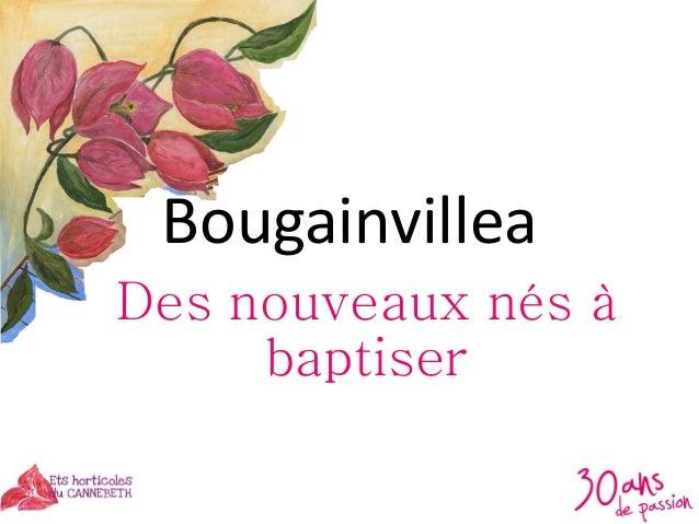 Bougainvillea Des nouveaux nés à baptiser