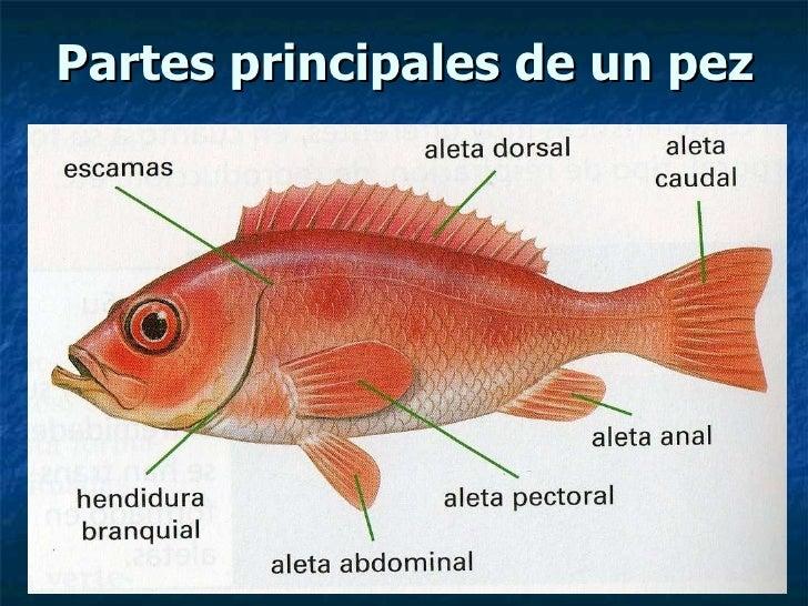 Peces con sus partes imagui for Como se cultivan los peces