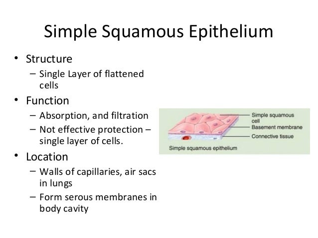 epithelial tissue functions in Start studying functions of tissue learn vocabulary, terms, and more with flashcards, games, and other study tools.