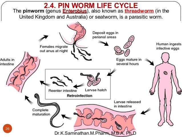 Энтеробиоз у беременных лечение 577