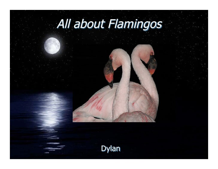 All about Flamingos             Dylan