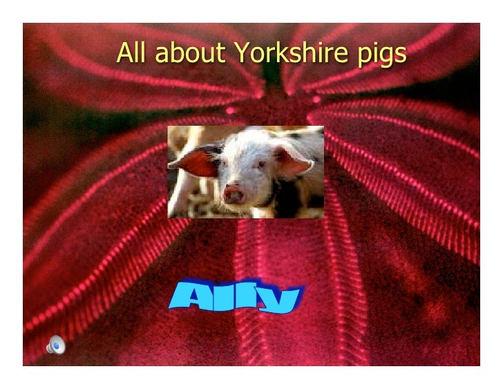 All about Yorkshire pigs