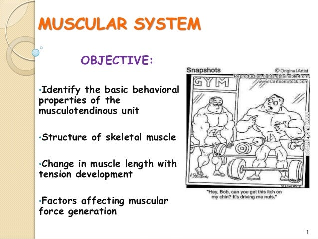 MUSCULAR SYSTEM OBJECTIVE: •Identify  the basic behavioral properties of the musculotendinous unit •Structure  of skeletal...