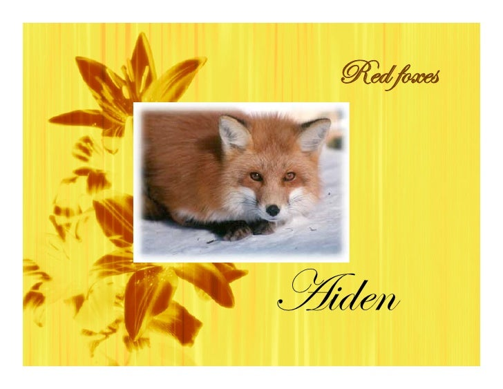 Red foxes     Aiden