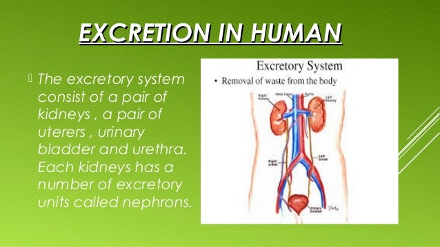 Excretion content besides Oils in addition 4 GB 17 AnimS Ti J Spr2003 also Stomach moreover Human Anatomy Anterior View Human Anatomy Abdominal Viscera Anterior View Anatomy Definition. on bladder circulatory system