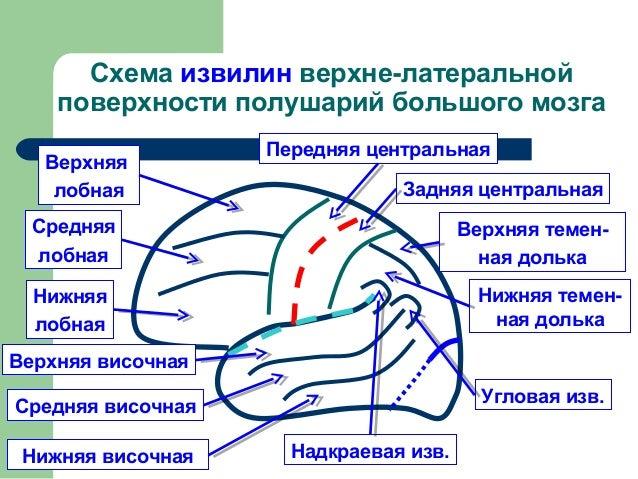 Схема борозд медиальной