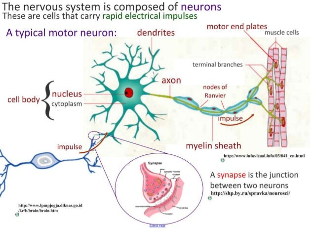 describe and evaluate the synaptic homeostasis Describe the function of sodium and potassium in  the synapse consists of a synaptic  its function is to integrate and evaluate incoming information and.
