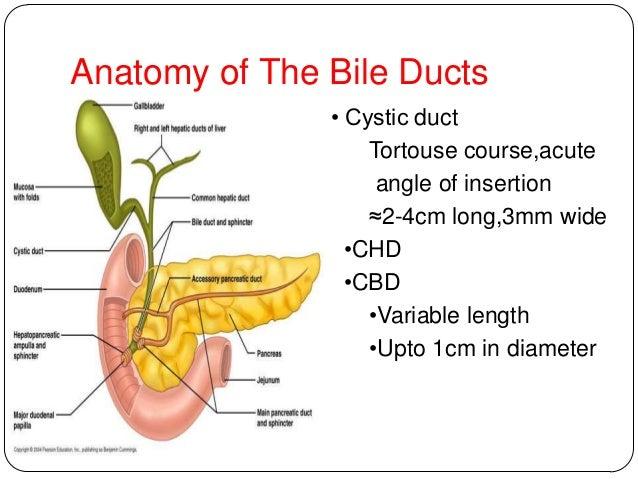 Biliary duct anatomy