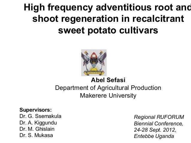 High frequency adventitious root and   shoot regeneration in recalcitrant         sweet potato cultivars                  ...