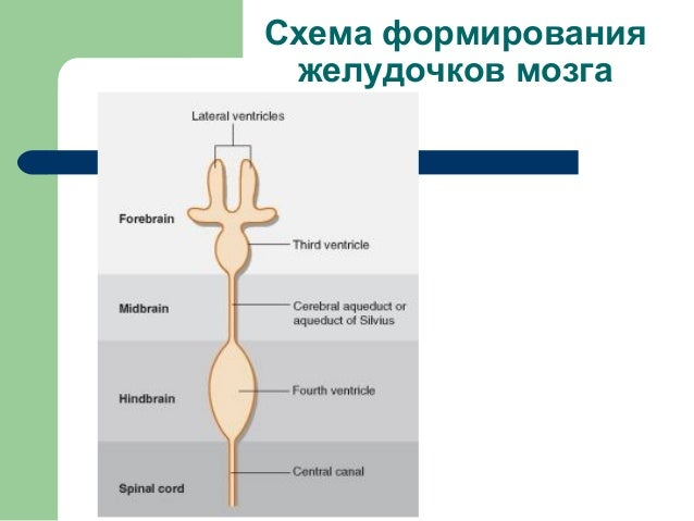 анатомия цнс 7, желудочки