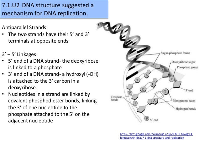 Dna structure and replication worksheet model 1