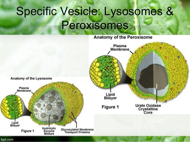 peroxisome in animal cell Peroxisome a small organelle (a type of microbody) that is bounded by a single membrane and found in plant and animal cells it contains enzymes that are involved in oxidation processes, some of which generate the highly toxic compound hydrogen peroxide (h 2o 2) hence, peroxisomes are equipped with catalase,.