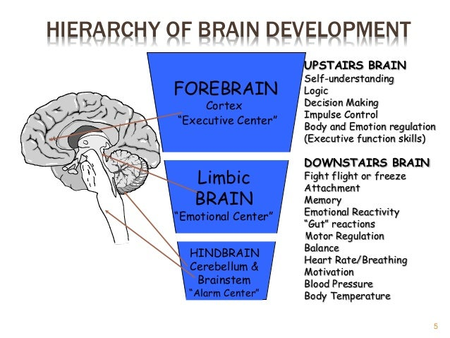 brain development essay