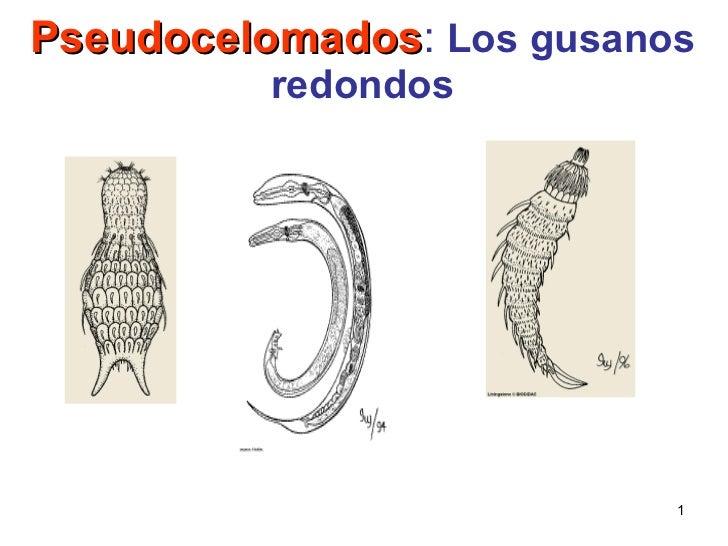 Pseudocelomados :  Los gusanos redondos