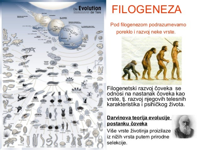 FILOGENEZA Pod filogenezom podrazumevamo poreklo i razvoj neke vrste.  Filogenetski razvoj čoveka se odnosi na nastanak čo...