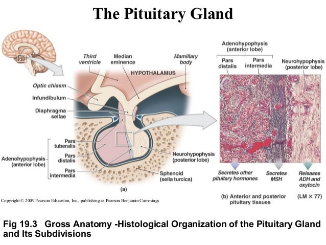 the pituitary gland and dwarfism essay