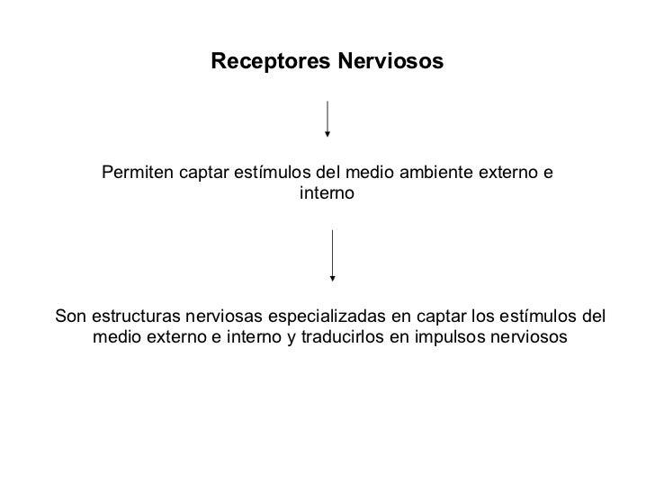 Receptores Nerviosos Permiten captar estímulos del medio ambiente externo e interno Son estructuras nerviosas especializad...