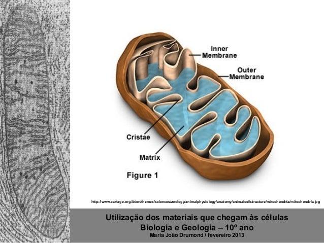 Utilização dos materiais que chegam às células Biologia e Geologia – 10º ano Maria João Drumond / fevereiro 2013 http://ww...