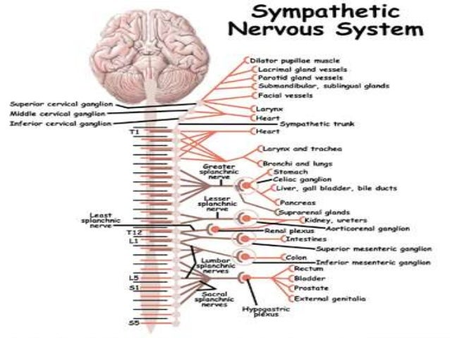 essay on the peripheral nervous system Biology: nervous system lab report  the brain and spinal cord receives signal from organs of peripheral nervous system and dictates  do you need a custom essay.
