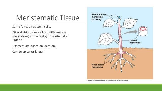Plant Tissue – Meristematic – Simple, Complex Permanent Tissue