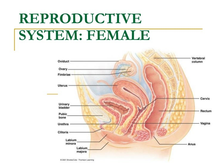 Notes - Female Reproductive System