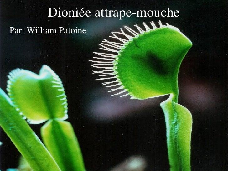 Dioniée attrape-mouche Par: William Patoine