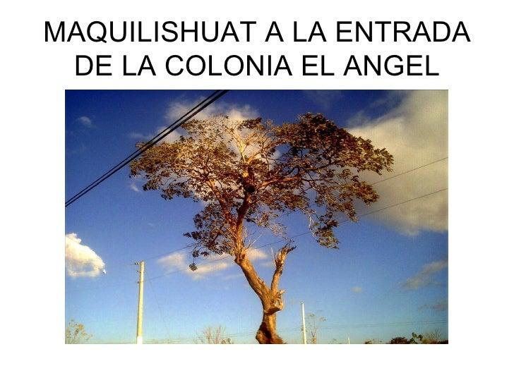 MAQUILISHUAT A LA ENTRADA  DE LA COLONIA EL ANGEL