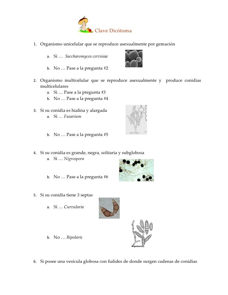 Clave Dicótoma  1. Organismo unicelular que se reproduce asexualmente por gemación         a. Sí … Saccharomyces cervisiae...