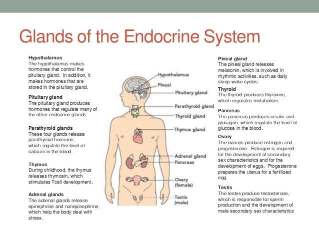 Endocrine system function chart a 3 endocrine system amp glands