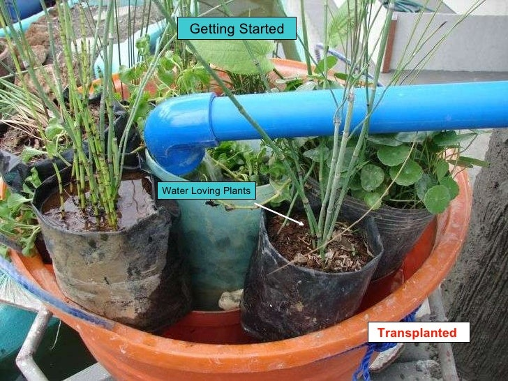 Water Loving Plants Getting Started Transplanted