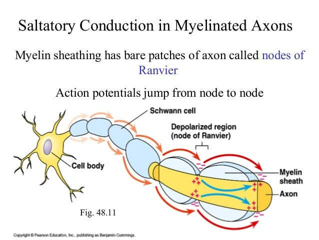 compare and contrast continuous saltatory propagation of action potentials Neuronal action potentials are the principal  action potential propagation:  continuous conduction in unmyelinated axons is slower than saltatory conduction.
