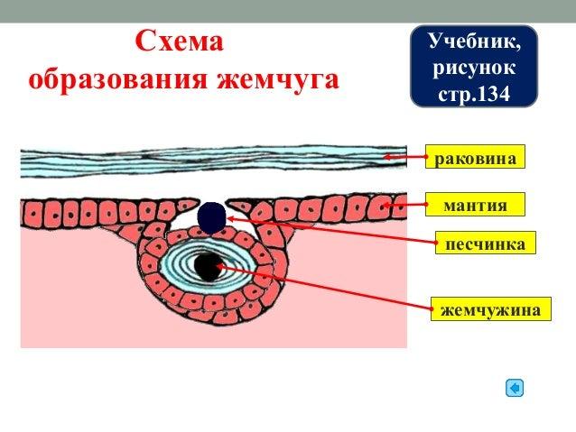 Двустворчатые моллюски • Тело