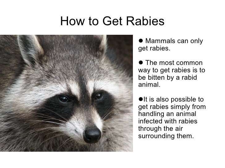 How Can A Dog Get Rabies From A Raccoon